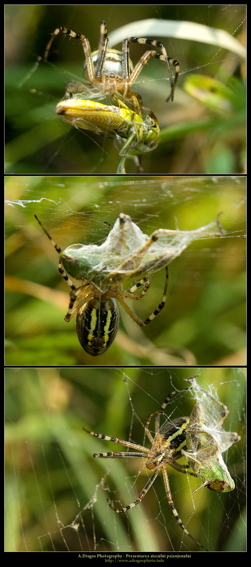 prezentarea-atacului-paianjenului-1