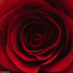 Tainele unui trandafir 1 - NIkon D7000 + 50 1.8 - 1/200, f/1.8, ISO 100