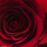 Tainele unui trandafir 2 - NIkon D7000 + 50 1.8 - 1/200, f/1.8, ISO 100