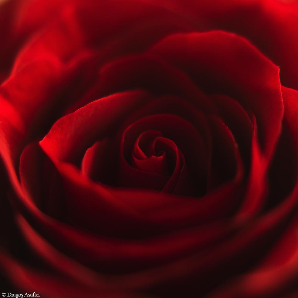 Tainele unui trandafir 3 - NIkon D7000 + 50 1.8 - 1/200, f/1.8, ISO 100