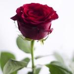 Trandafirul, simbol al iubirii 1 - Nikon D7000 + 50 1.8 + SB-600 - 1/200, f/1.8, ISO 100