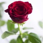Trandafirul, simbol al iubirii 2 - Nikon D7000 + 50 1.8 + SB-600 - 1/200, f/1.8, ISO 100
