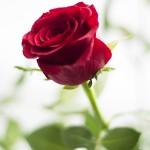 Trandafirul, simbol al iubirii 3 - Nikon D7000 + 50 1.8 + SB-600 - 1/200, f/1.8, ISO 100