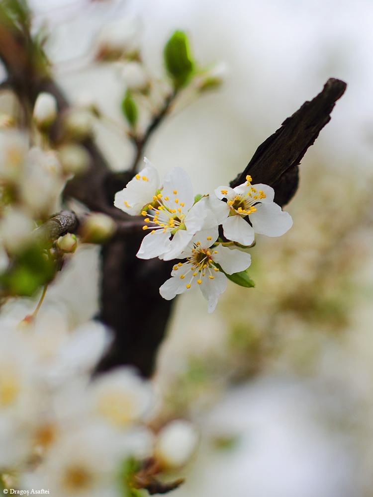 Semne ale primăverii 3 - Nikon D7000 + 50 1.8 - 1/500s, f/2.8, ISO 100