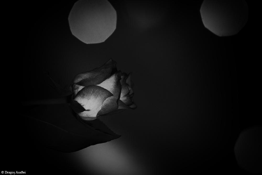 Trandafir în lumina nopți