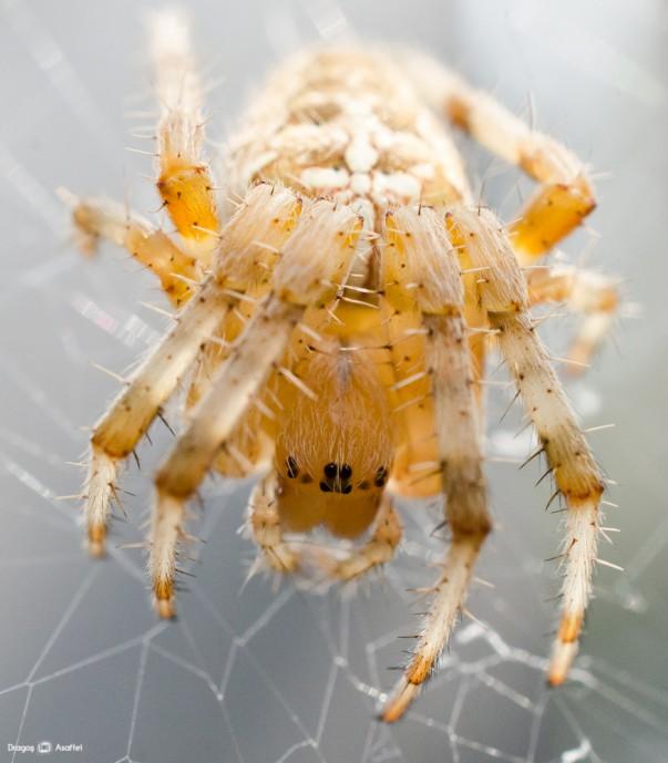 Păianjen cu cruce