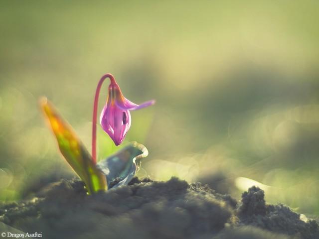 floare-a-primaverii-2
