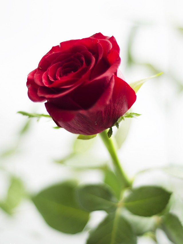 trandafirul-simbol-al-iubirii-3